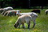 Baby sheep and mother standing and grazing in a grassy meadow. Photography fine art photo prints print photos photograph photographs image images artwork.