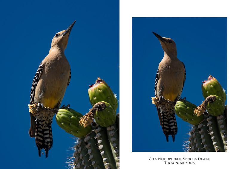 Gila Woodpecker 2 image set.jpg