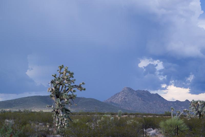 Arizona Joshua Tree