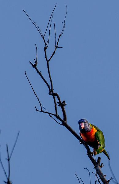 Rainbow Lorikeet on Branch