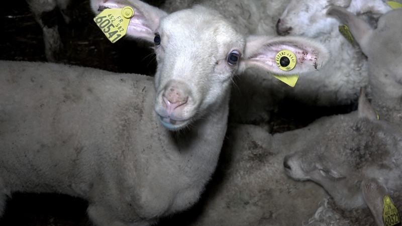 agneau-bouverie-abattoir-mauleon-02.jpg