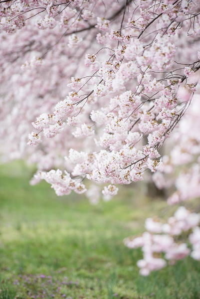 Cherry Blossoms (156 of 182).jpg