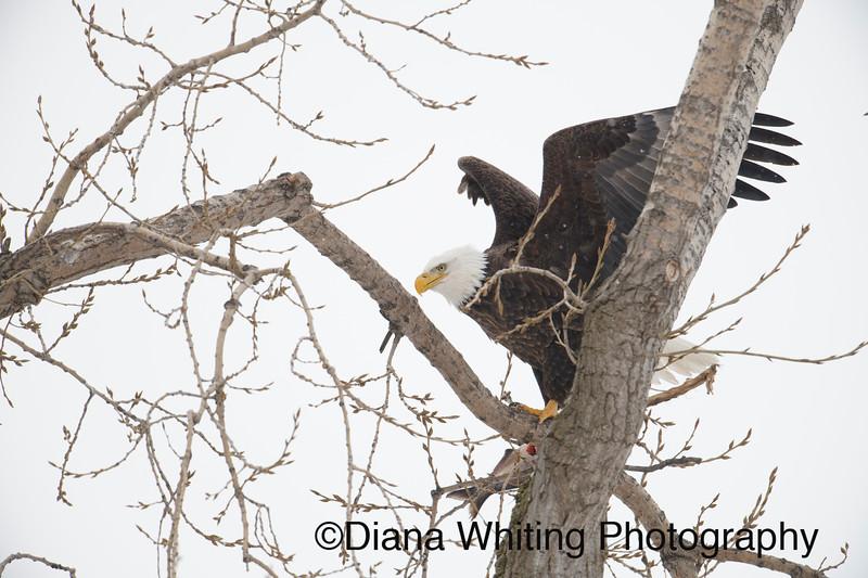 Bald Eagle 29.jpg