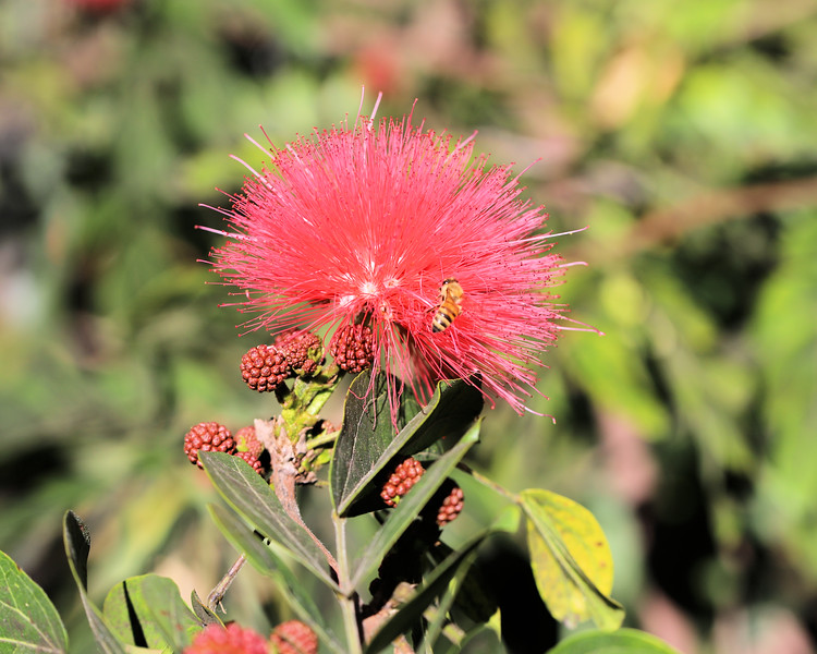 IMG_2842 Red Flower San Diego Zoo Bee 12.28.2017.jpg