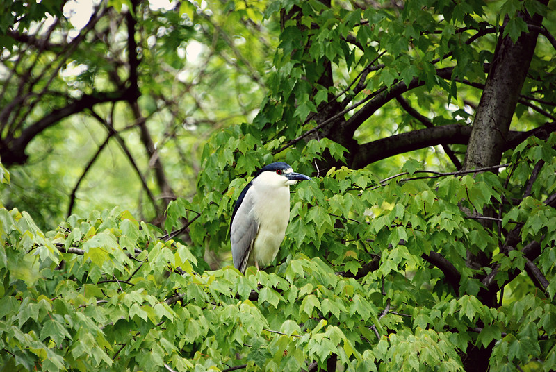 Black Crowned Night Heron, Central Park NY