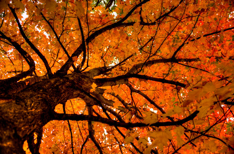 Love this MN Maple tree.jpg