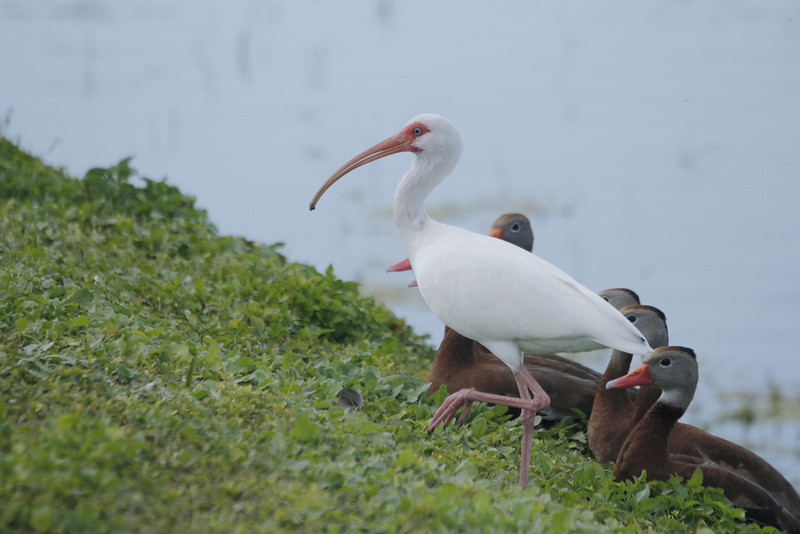 white ibis with black-bellied whistling ducks