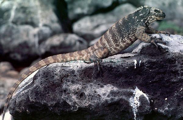Hybrid Land/Marine Iguanas