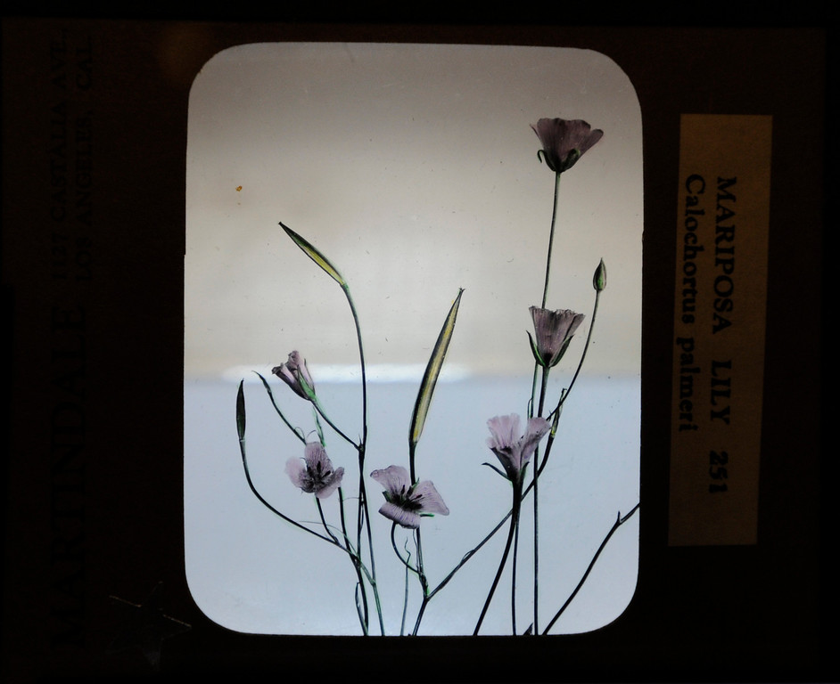 ". This hand-painted glass slide by Lustin Martindale shows a Mariposa Lilly.""When they were wild,\"" is the Huntington Library\'s new Wildflower exhibition which kicks off a month of talks, workshops and wildflower sales. San Marino, CA 3/8/2013(John McCoy/Staff Photographer)"