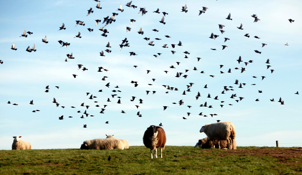 . A flock of birds flies over sheep grazing a the Barinaga Ranch Farmstead Tuesday, Jan. 15, 2013, near Marshall, Calif. (Karl Mondon/Staff)