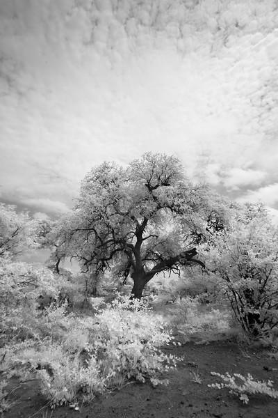The Haloed Tree