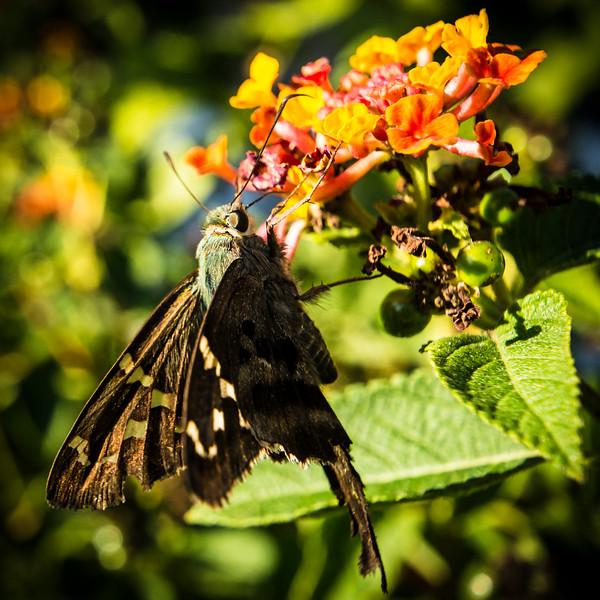 Day Moth.jpg