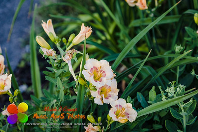 several small pale orange lily blossoms seen at sunrise