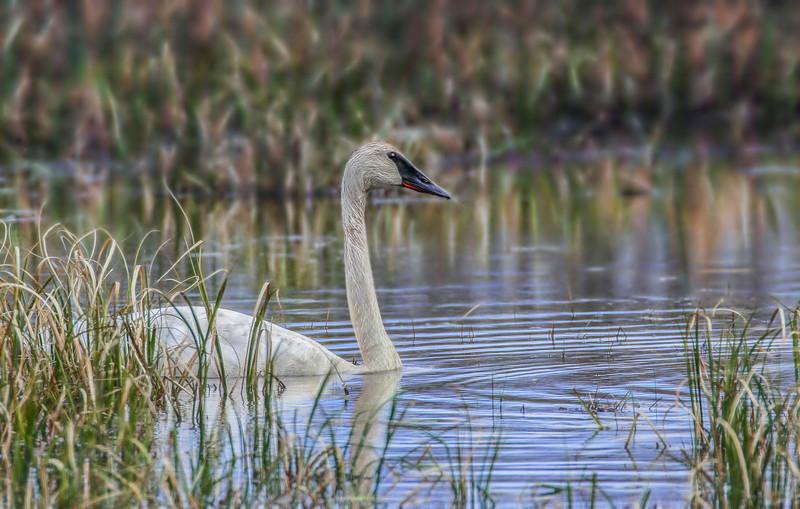 swans photo.jpg