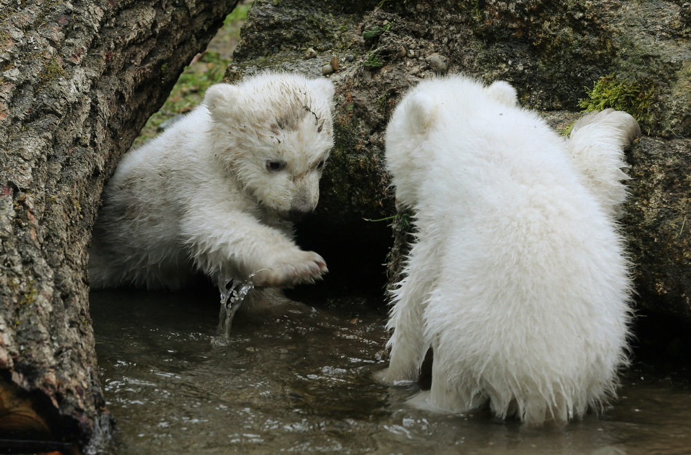 . Two 14-week old polar bear twins explore their enclosure at the Hellabrunn zoo in Munich, Germany, Wednesday, March 19, 2014. The cubs who were born on Dec. 9, 2013 were presented to the public for the first time. (AP Photo/dpa, Stephan Jansen)