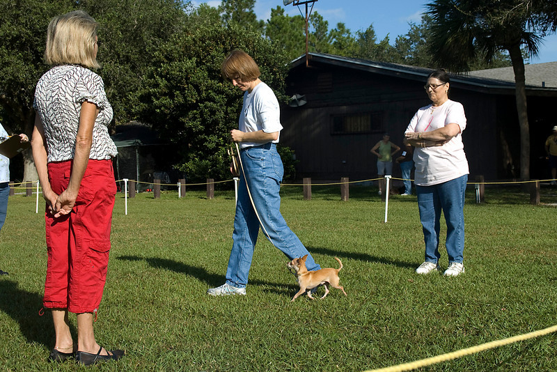 This Chihuahua and handler perform the on-lead figure 8 heeling pattern in the Novice class.