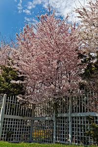 Meadowlark Gardens - Spring Bloom - Vienna VA - 2009