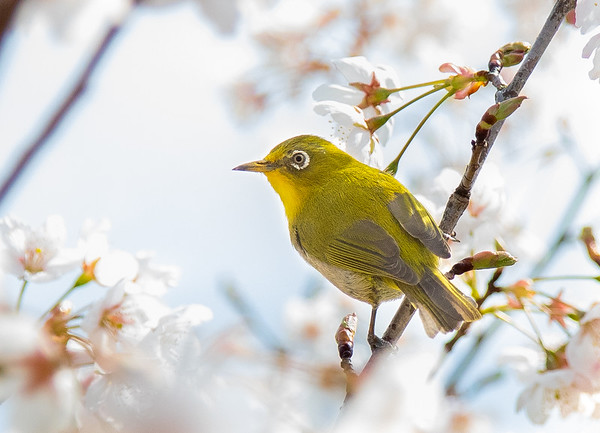 Japanese Warbling White Eyes