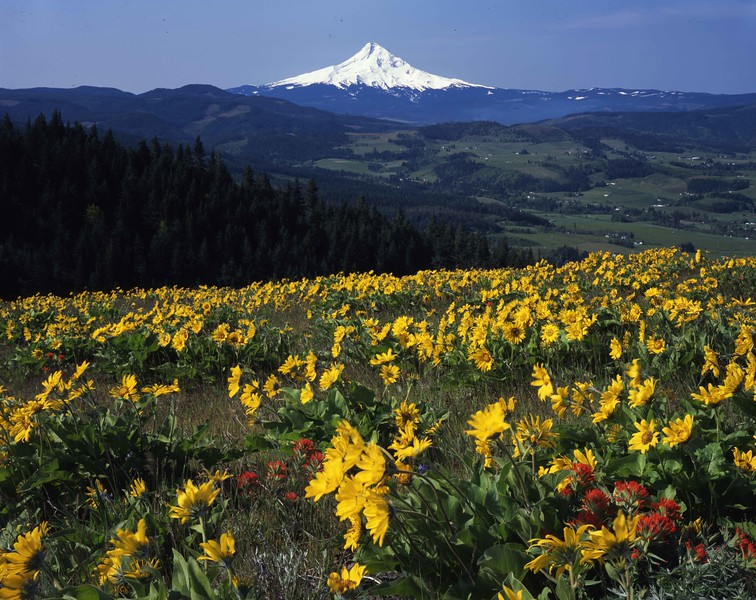 Balsamroot and Hood River Valley