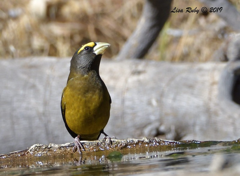 Evening Grosbeak 11/16/2019 - Mt Laguna, Water Trough West Meadow