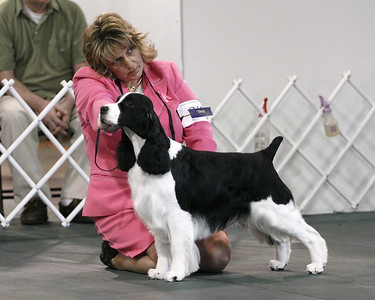 English Springer Spaniel Regional Specialty Photos