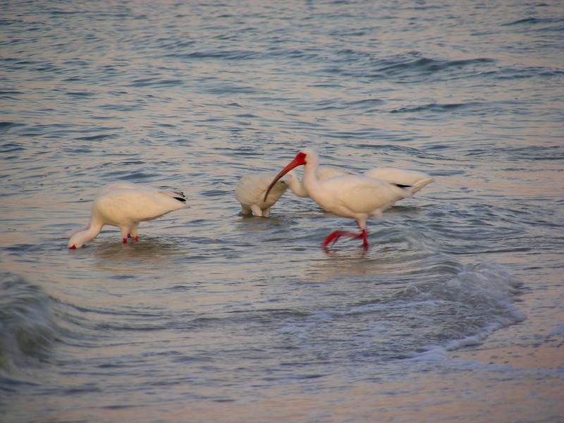 White Ibis, starling of the surf.