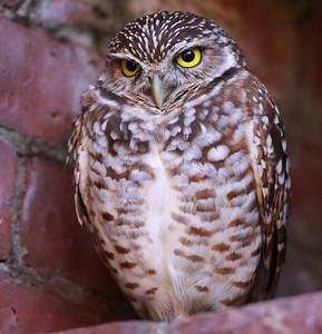 Pöllöt (Owls)