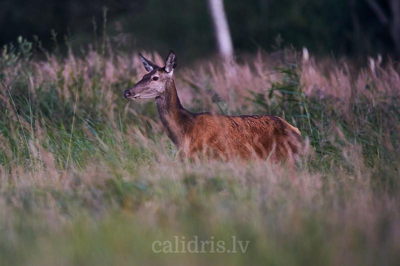 Staltbriežu govs / Red deer cow