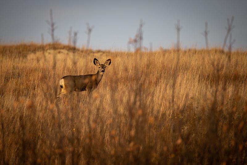 Mule Deer Theodore Teddy Roosevelt National Park Medora ND IMGC0411-2.jpg