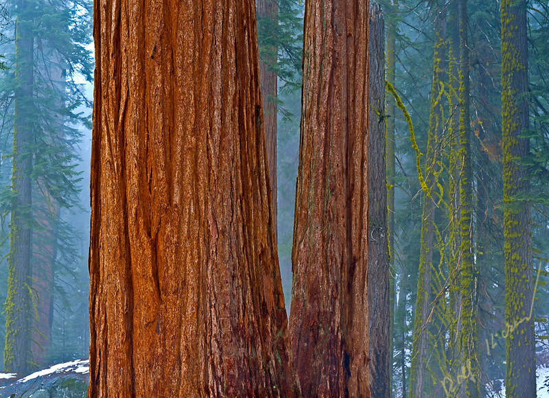 Fog in the high altitude forest with moss covered giant sequoia trees in Sequoia National Park, California, USA, North America.