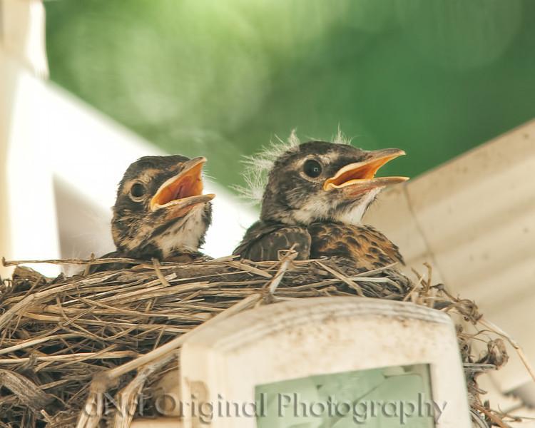 070 Baby Robins Spring 2013.jpg
