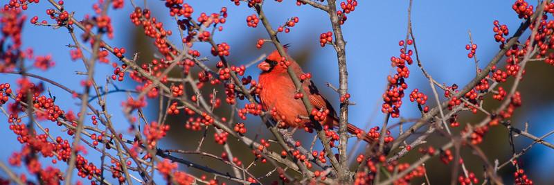 """Cardinal (m) - """"Cardinalberry"""""""