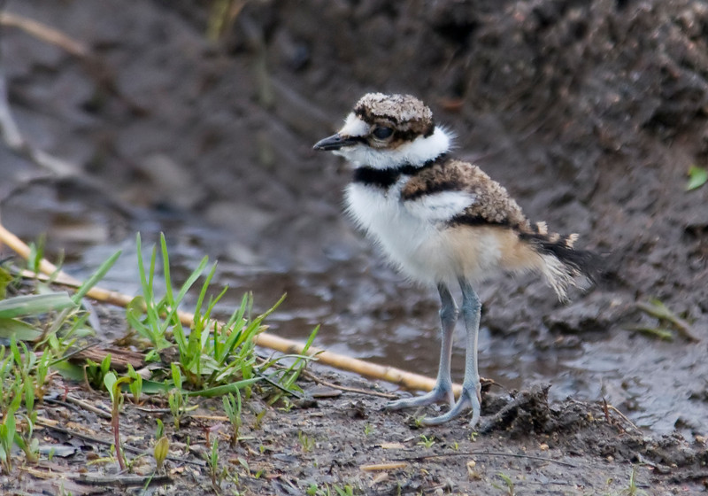Killdeer - baby - Trout Lake - Bovey, MN - 01