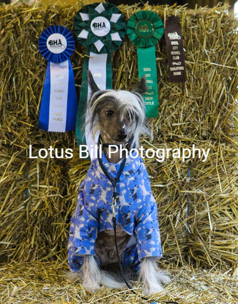 Chinese Crested (26 of 30).jpg