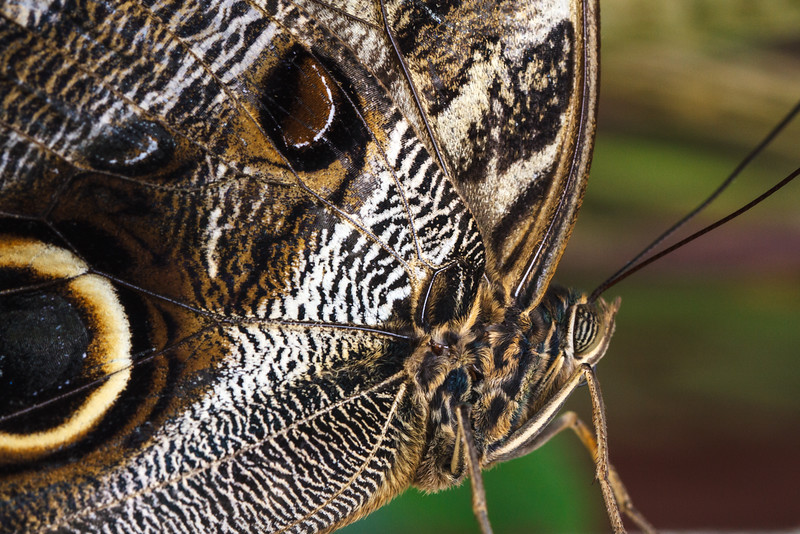 Owl Butterfly-5592.jpg