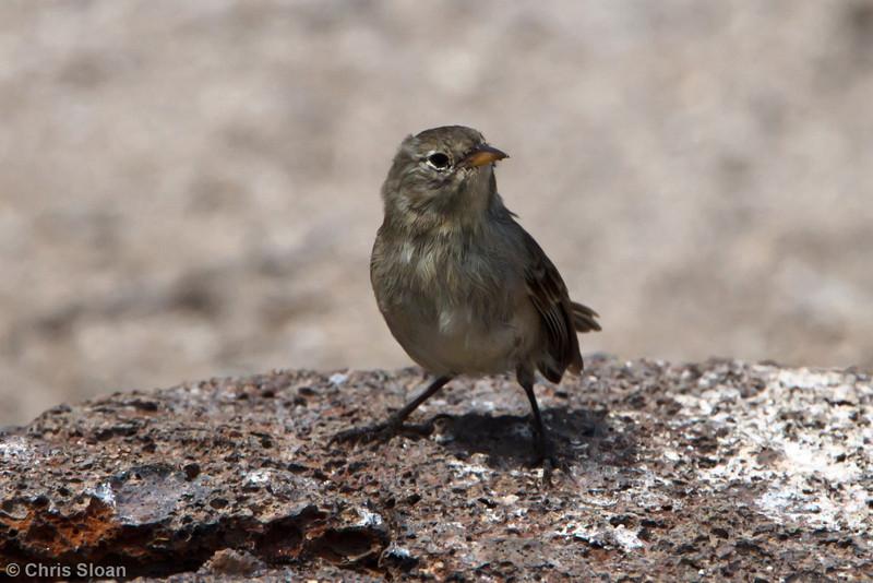 Gray Warbler-Finch mentalis at Prince Phillip's Steps, Genovesa, Galapagos, Ecuador (11-25-2011) - 915.jpg