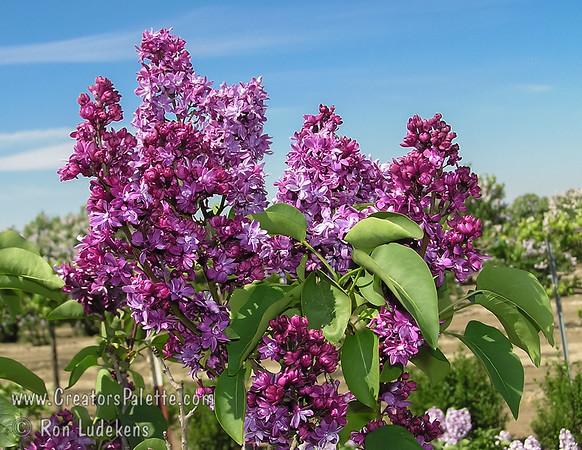 Adelaide Dunbar French Hybrid Lilac - Syringa vulgaris  x