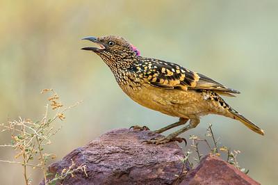 Bowerbirds, Catbirds