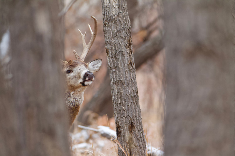 Whitetails in the Wild - 37.jpg