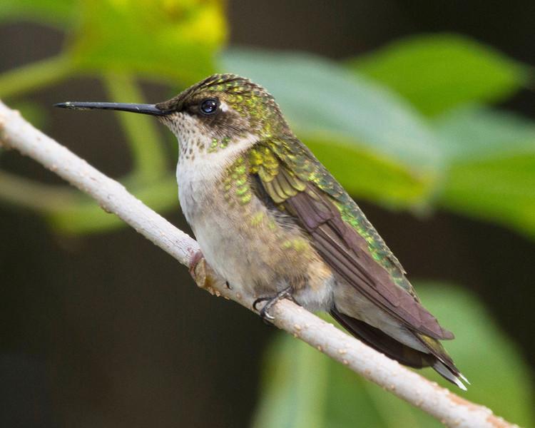 hummingbirdonmulberrytwig18.jpg