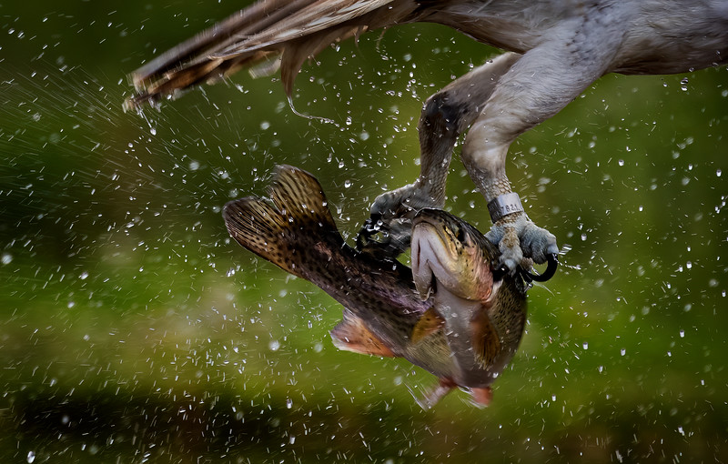Osprey with Rainbow Trout