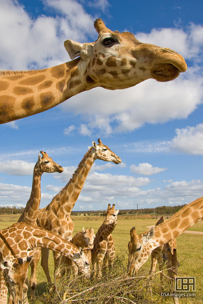 Giraffe feeding time