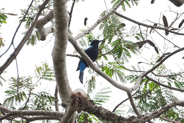204 Irenidae - Fairy Bluebird