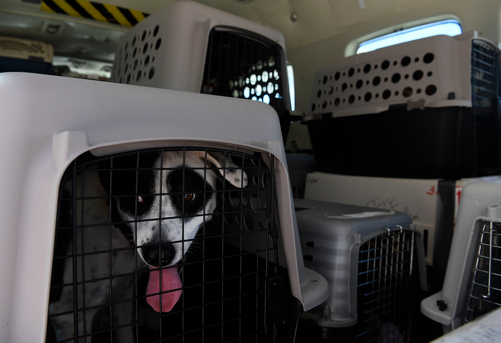 . Dogs await foster parents inside of an a Dog is My Pilot airplane at the TAC Air hanger May 04, 2016. The (Photo by Andy Cross/The Denver Post)