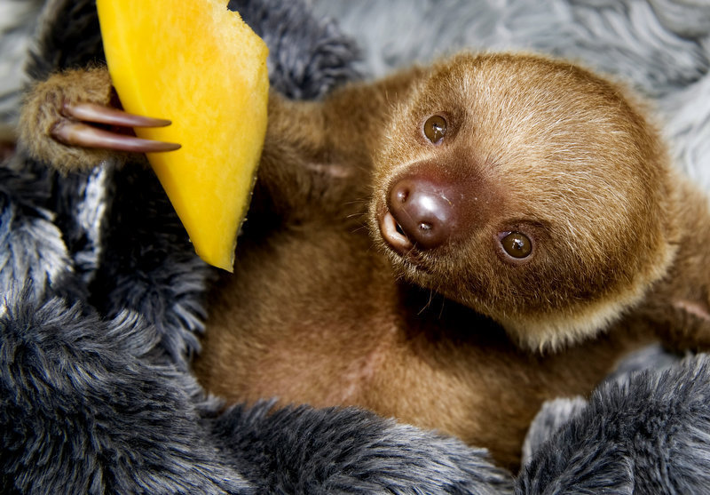 Description of . A baby two-toed sloth (Choloepus) eats fruit at the Aiunau Foundation in Caldas,  some 25 km south of  Medellin, Antioquia department, Colombia on September 15, 2012. Croatian scientist Tinka Plese created the foundation 10 years ago, where sloths --which have been captured by illegal wildlife traffickers and then sold to people between US40 to 150 dollars-- are rescued, rehabilitated and released. More than 700 sloths have been released to date.   RAUL ARBOLEDA/AFP/GettyImages