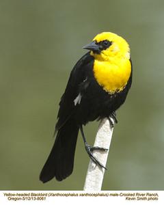 YellowHeadedBlackbirdM8061.jpg