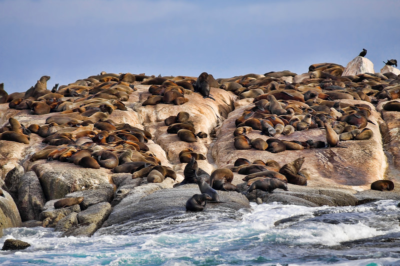 Lots of seals laying and resting on a rocky island. Photography fine art photo prints print photos photograph photographs image images artwork.