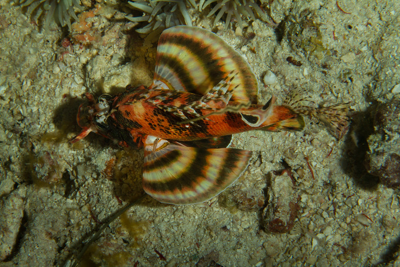 Juvenile Twin Spotted Lionfish