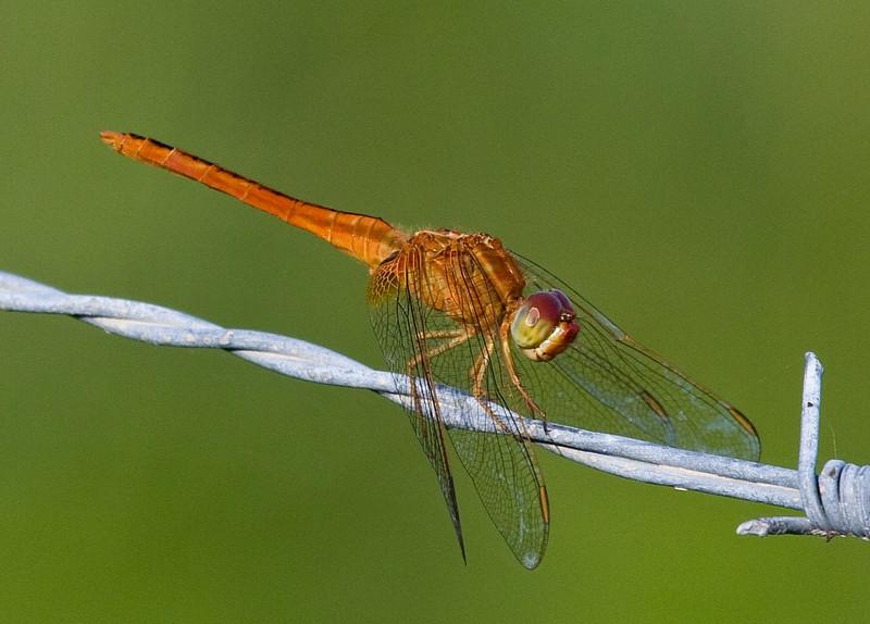 scarlet skimmer female