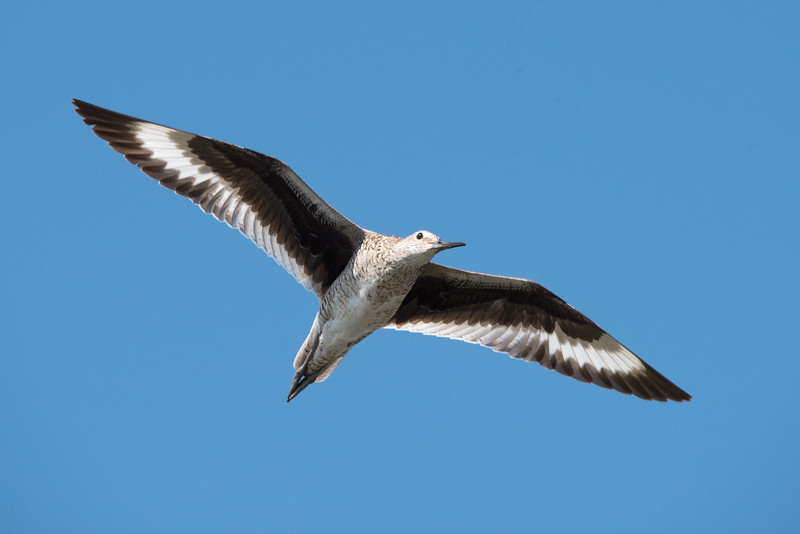 A Willet flying overhead, showing off its black and white barred wings.